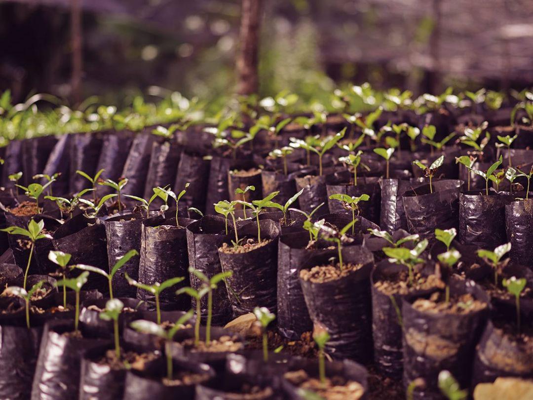 Kávé növény, csemete